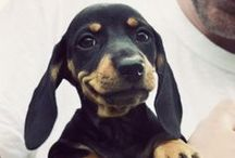 My Future Bento / Tilly / Pancake / One day I will own a sausage dog and my life will be complete.  / by Kate