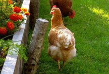 Mrs. Mendelbriet's Urban Farm / Mrs. Mendelbriet was one of our first chickens. She is still with us, a beautiful Barred Rock, who all the other chickens bow to. And so do we by naming our urban farm after her. / by Sharon Kaufman
