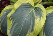 Hosta / Hosta are a beautiful, easy-care, low maintenance, perennial plants. Most variegated Hosta have the ability to tolerate a half day of the cooler, morning sun which helps to bring out their gold coloring. Hosta can grow around and under Black Walnut Trees. When I can, I add the size & descriptions of the Hosta. I get my information from perennialresource.com, hostalibrary.org & Walter's Gardens. Hosta's Direct is a company that has a  large selection of Hosta for sale with great prices. / by KCRIK