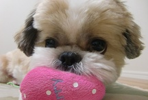Shih Tzu dogs & pups / by Jodee Toalson