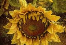 sunflowers, floarea soarelui / by Anca Laura