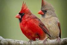 Cardinal birds / by Cheryl Mcgibbon