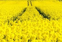Yellow Paradise / Yellow Stuff! / by Shirlesy Ellswick