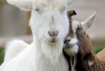 Goats / by Trudy Saunders