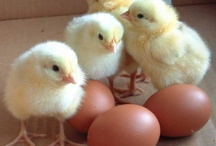 Raising Chickens / Whether you're raising chicks for egg-laying, FFA or 4H, here are some favorite products and projects for getting started. / by Blain's Farm & Fleet