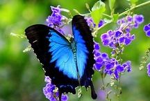 Vlinders - Butterflys / by Mieke Löbker
