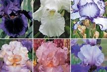 ~~Beautiful Iris Garden~~ / by Rachel Rushing