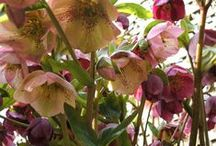 Hellebores / by Bettina Sch.