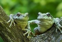 Frogs / Toads! / I love frogs! :)) / by Onyx