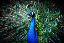Posh Peacocks / by Michelle Sousa