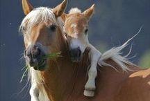 Animals - Horses / by Sue Thompson