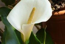 CALLAS ,  LOTUS & Antúrios / Callas me lembra casamentos e lotus me lemra os contos de mil e uma noites. Antúrios lembram minha mãe. / by Gloria Ben