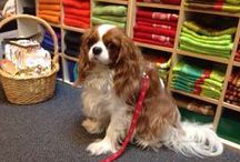 Meet Logan / If you have ever visited the store when the owner is there, chances are you've met Logan, a Cavalier King Charles Spaniel and the official mascot of The Main Course! / by The Main Course
