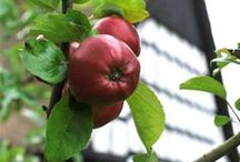 Historical apples / by Nationalmuseet
