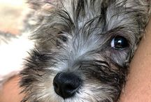 Cairn terrier / by Lia .