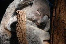 Australia - Wildlife / Images of Australia's native animals, fauna, wildlife / by Australia Gift Shop