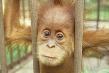Orangutans R Us! / Endangered orangutans only occur in the rainforests of Borneo and Sumatra. These gentle Asian apes are often a victim of habitat loss due to logging, oil palm plantations and wild fires. Seeing them in the wild is a breathtaking experience.    / by Malaysia Nature Escapes