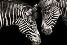 Zebra stuff / by Corrina Brough