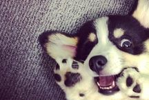 Corgi love / Corgi's are loyal dogs that stay cute forever! I love them so much!!!  / by Natalie