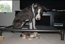 American Pit Bull Terrier / American Pit Bull Terrier enjoying a Kuranda bed. / by Kuranda Dog Beds