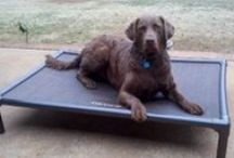 Chesapeake Bay Retriever  / Chesapeake Bay Retrievers and their Kuranda beds! / by Kuranda Dog Beds