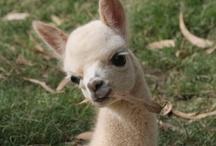 Llamas, alpacas, sheep & goats!!!! / by Judith Elmore-Ledbetter