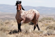 """America's Living Legend. Adopt and Save. / Since 2001 my dad and I have adopted 7 American Mustangs from the the BLM. 2 are from Wyoming, 2 from Nevada, 2 from Kansas (from a reserve), and one from Oregon. I wouldn't want any other horse breed because the mustang is so versatile. And you cannot replace the bond you have when you tame a """"wild"""" animal. Adopt and Save the American Mustang from the extinction so many are trying to pursue! <3 / by Margie Archibald"""
