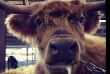 Livestock at Colorado State Fair / by Colorado State Fair
