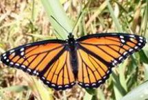 Flight of the Butterflies / An IMAX film we had in 2012 - we do love the science behind butterflies! / by KY Science