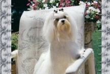 maltese / by Donna Mantore