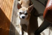 Chihuahuas / by Debbie Barker