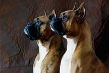 Boxer Love / by Mary Jane Felix