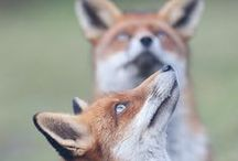 """Furry Little Foxes / Foxes are members of the dog family. A female fox is called a """"vixen"""", a male fox is called a """"dog fox"""" or a """"tod"""" and baby foxes are called """"pups"""", """"kits"""" or """"cubs"""" / by Coveted Temptations"""