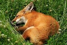 Foxy / by Debbie Duce