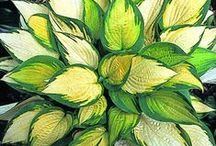 LEAVES ( HOSTAS) / I AM ALWAYS FASCINATED AND AMAZED HOW BEAUTIFULLY LEAVES HAD BEEN MADE BY THE GREAT ARCHITECTURE AND DESIGNER OF THIS WORLD.TRULY EVERYTHING GOD CREATED ARE BEAUTIFUL. / by nellie lacanaria viloria