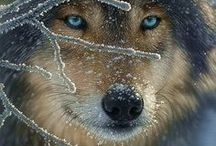 ♥Wolves♥  / WOLVES ARE THE BEST ANIMAL EVEA! :D / by Jinx Wolf