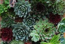 We <3 Succulents / by Ali'i Kula Lavender