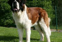 Newfies & Saint & Akita & Eng. Mastiff / Newfoundlands , Saint Bernards , Akitas , English Mastiff  / by Madis_Jordynne