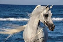 The Arabian Horse / One of the most versatile, smart, athletic, and attractive breeds. / by Sophia G.