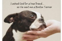 "Boston Terriers / I've been fortunate to have been able to enjoy several ""Bostons"" over the course of my many years, and I can truly say that  without a doubt, they have been the best friends I have ever known; talk about unconditional love...... / by bob spear"
