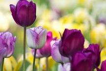 Tulipanes mis .... / by Jacqueline Martínez