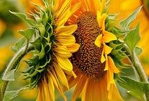 Sunflowers / by Lori Schliep