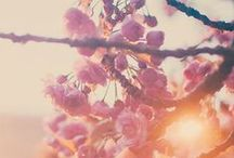 cherry blossom / by Michelle F