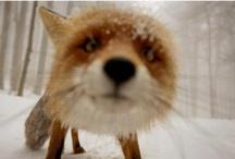 Animals - Fox / by Danielle Edwards