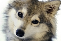 Animals - Pups - Huskies & Wolves / by Danielle Edwards