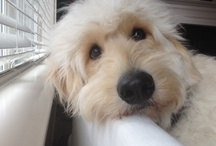 Animals - Pups - Labradoodles / by Danielle Edwards