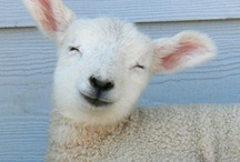 Animals - Lambs / by Danielle Edwards