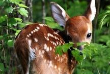 Animals - Deer / by Danielle Edwards