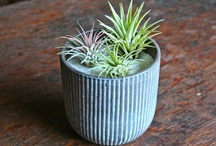 Air Plant Care Tips / Tips and advice to help you care for your air plants. Tillandsias are versatile and easy to care for if you know some basic care rules and tricks! / by Air Plant Design Studio