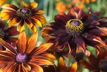 Flowers For A Herbaceous Border / by Stephen Tindle